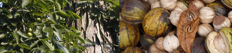 Wild Seed Project Native Plant Profiles: Shagbark hickory. Carya ovata. Juglandaceae