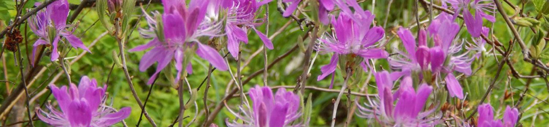 Rhodora Rhododendron canadense Ericaceae