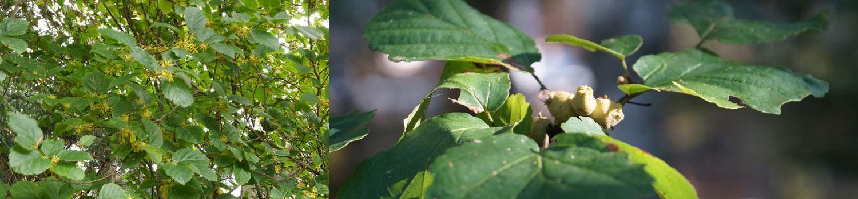 Wild Seed Project Native Plant Profiles: Hamamelis virginiana. Witch-hazel. Hamamelidae