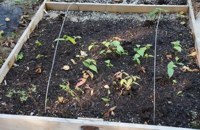 Native Maine seed germination