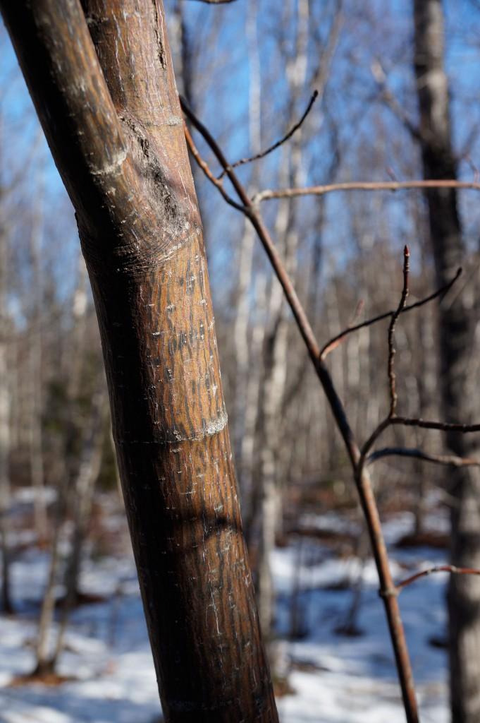STRIPED MAPLE. Acer pensylvanicum. Soapwort Family (Sapindaceae)