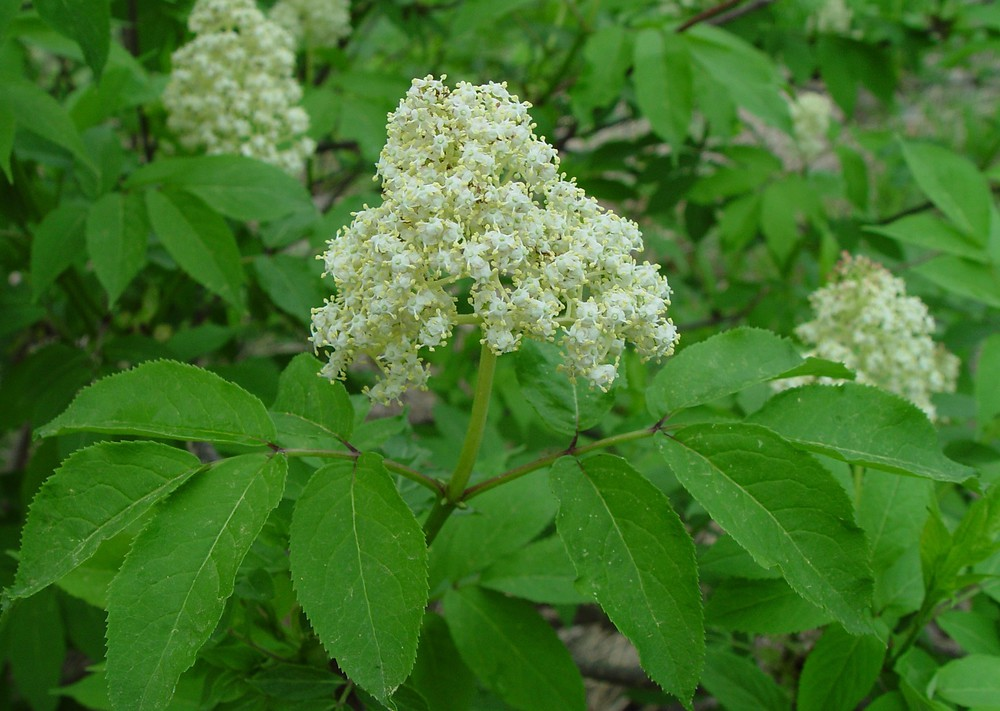 Red Elderberry Wild Seed Project