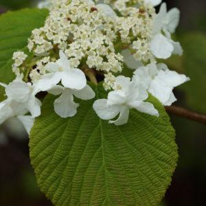 Viburnum lantanoides. Hobblebush. Adoxaceae