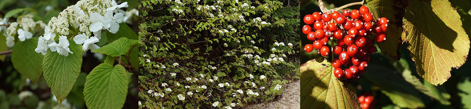 Hobblebush native plant profile