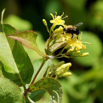 Photograph of a bee on a bush honeysuckle blossom