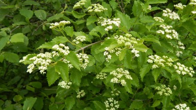 A collection of native shrubs for maine summer gardens wild seed arrowwood viburnum dentatum mightylinksfo