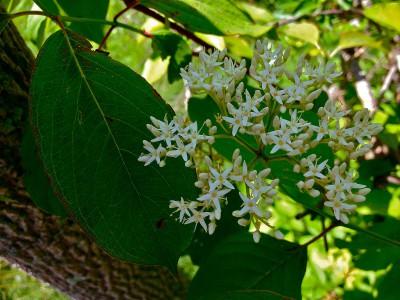 Silky dogwood (Swida amomum)