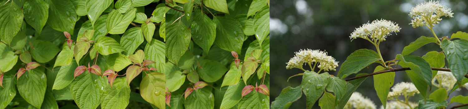 Alternate-leaved Dogwood