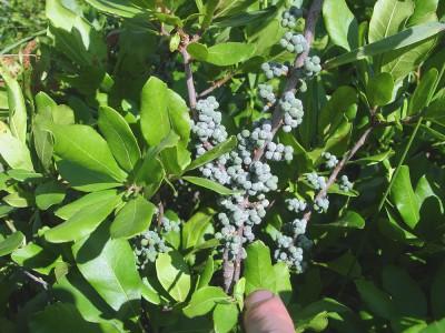 Bayberry (Morella caroliniana)