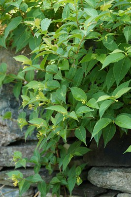 A Collection Of Native Shrubs For Maine Summer Gardens