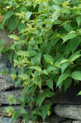 Northern bush honeysuckle (Diervilla lonicera)