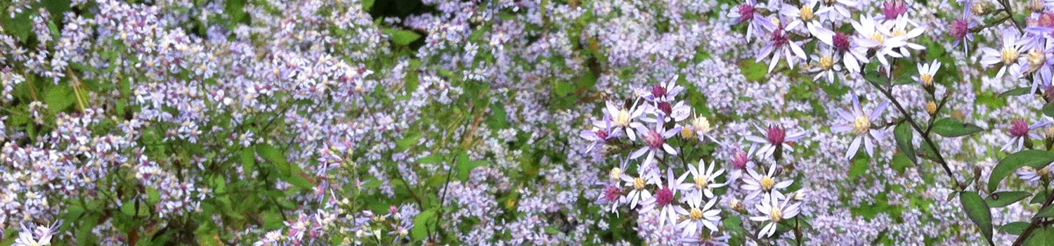 Heart-leaved American aster