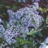Aster, Blue Wood Aster (Symphyotrichum cordifolium)