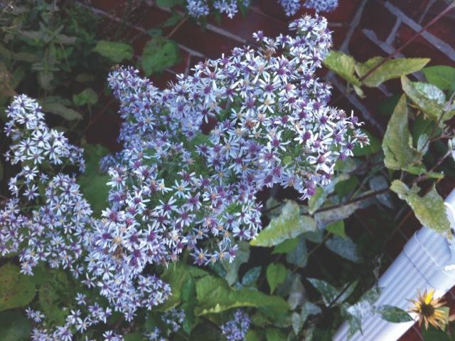 Symphyotrichum Cordifolium Formerly Aster Cordifolius