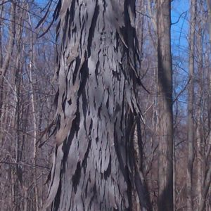 Shagbark hickory. Carya ovata. Juglandaceae