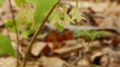 American Honeysuckle. Lonicera canadensis. Caprifoliaceae