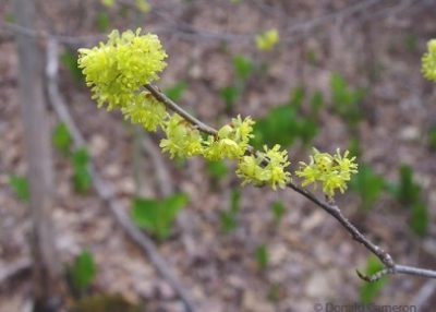 Lindera benzoin. Northern spicebush. Lauraceae