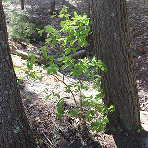 American honeysuckle (Lonicera canadensis) between two large trees in a woodland
