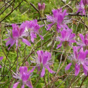 Rhodora. Rhododendron canadense. Ericaceae.