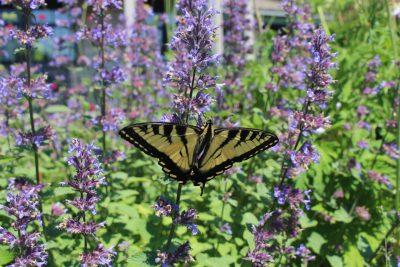 Native Tiger swallowtail