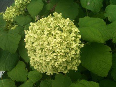 Hydrangea cultivar Annabelle