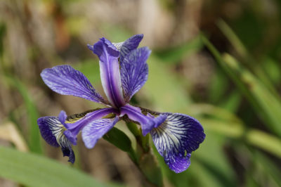 Iris flower, up close