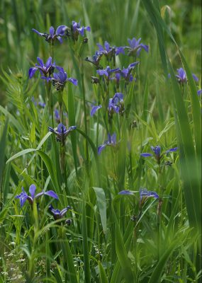Clump of iris