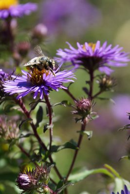 NE aster with bee