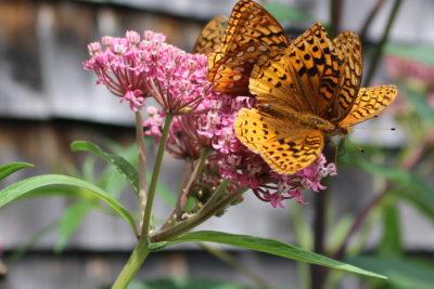 Swamp milkweed with fritillary