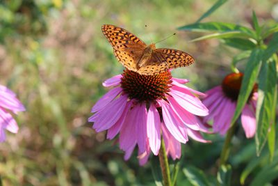 Wild form of Echinacea with Fritillary butterfly