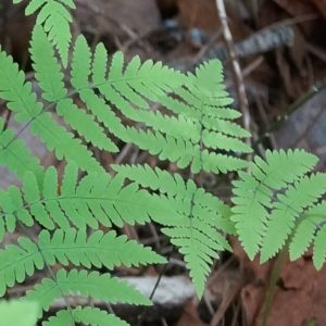 Northern Oak Fern. Gymnocarpium dryopteris. Woodsiaceae