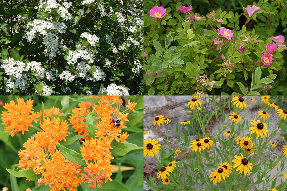 Chokeberry, wild rose, butterfly milkweed, black-eyed coneflower and many other native plants are adaptable to these tough urban sites.