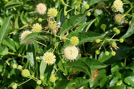 Common Buttonbush Cephalanthus Occidentalis Wild Seed
