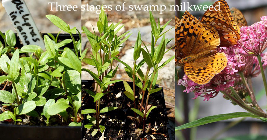 Three stages of swamp milkweed
