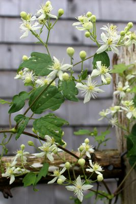 Growing vertical with native vines climbing plants for fences this is an herbaceous vine of roadside ditches and wet meadows the long thin stems climb up open shrubs and bloom in august with small white cross shaped mightylinksfo