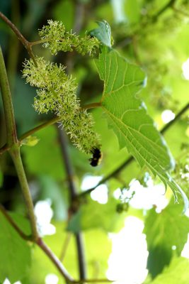 Growing Vertical With Native Vines Climbing Plants For