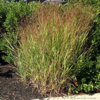 Switch panicgrass