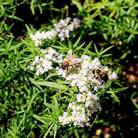 Virginia mountain-mint