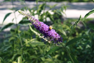Letu0027s Take A Staple Garden Ornamental As A Test Case: The Common Butterfly  Bush (Buddleja Spp.). You Might Not Be Aware Of The Controversy Surrounding  This ...