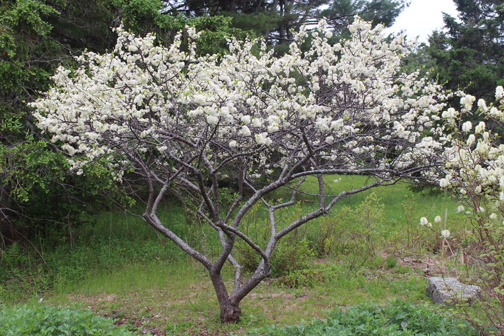 In Early Spring White Flowers Cover This Low Branching Tree You Must Have Two Trees For Cross Pollination To Produce The Distinctive