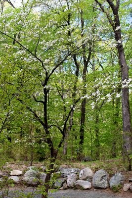 Flowering Big-bracted-dogwood