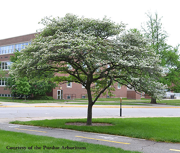 Small Flowering Trees A Dozen Native Species For Limited