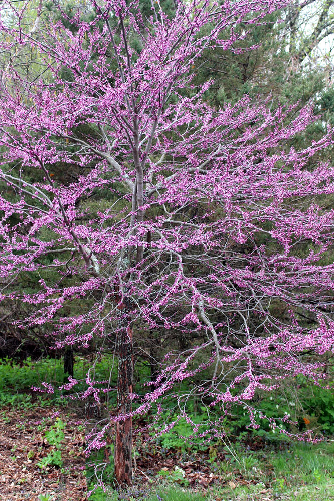 Small flowering trees a dozen native species for limited spaces redbud mightylinksfo