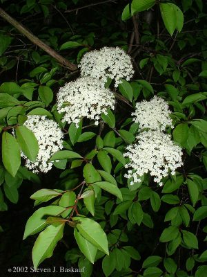 Smooth Blackhaw