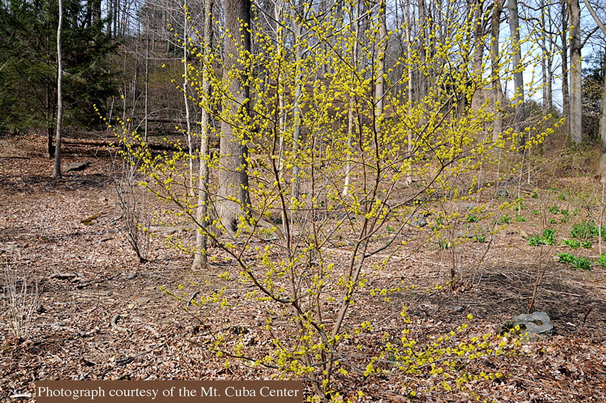 Small Flowering Trees A Dozen Native Species For Limited Spaces