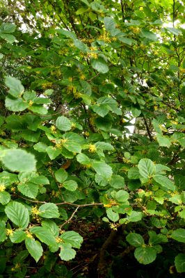 American witch-hazel