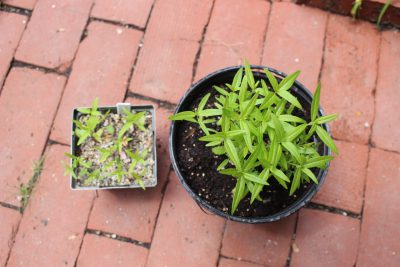 """Swamp milkweed in 4"""" pot, and growing nicely in larger pot"""