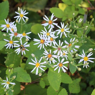 The beauty and pollinator benefits of asters and goldenrods wild large leaved wood aster mightylinksfo
