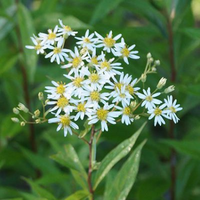 Tall white-aster