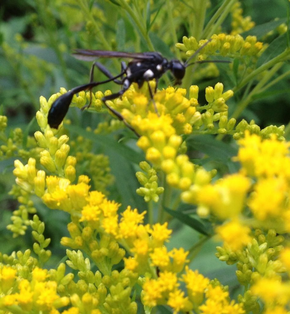 Sand Wasp Eremnophila aureonotata on Goldenrod